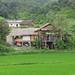 Rice field, Viengthong, Houaphanh Province, Laos