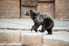 Dancing Bear (Dusty_Foot_Production) Tags: nature animals sanfranciscozoo grizzlybear dancingbear