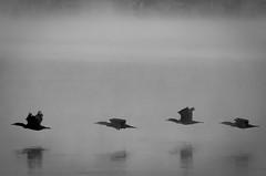 symmetrical flight (K-MAZ) Tags: bw birds fog river niagara d7100