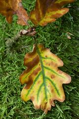 Autumnal motifs: Oak leaf on green moss (smir_001 (on/off)) Tags: wood autumn england plant abstract macro green english yellow closeup leaf moss oak bath somerset september british autumnal motifs lansdown canoneos7d