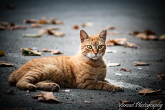 Ginger Sphinx (vienewi) Tags: street red portrait orange color cute animal cat ginger leaf homless canon400d efs55250mm