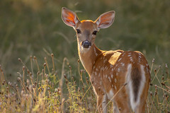 (Rob Zabroky) Tags: nature photography texas wildlife rob deer fawn whitetail naturephotography texashillcountry wildlifephotography texasdeer whitetailfawn whitetailtexas texaswhitetail robzabroky zabroky robzabrokyphotography robzabrokywhitetail robzabrokywildlife robzabrokynature