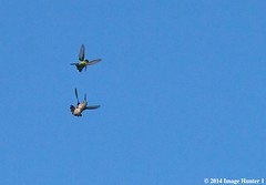 Ruby-throated Hummingbirds High Speed Aerial Combat - Bayou Courtableau, Louisiana (Image Hunter 1) Tags: blue sky nature birds flying fight wings louisiana wildlife flight aerial bayou swamp marsh hummingbirds combat rubythroated canoneos7d bayoucourtableau
