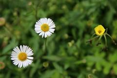 2+1 (dvsung) Tags: flowers white nature yellow canon 50mm three bokeh sigma