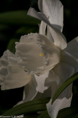 narcissus stainless 2w-w, oneplant, perianthwhite - daffodil parts, shortcup, trumpet