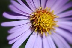 Little miss sunshine (Personal Visuology) Tags: flower macro nature up close purple