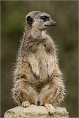 Meerkat (mikeyp2000) Tags: zoo meerkat sony location whipsnade 70400gii a77ii a77m2