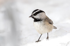Mountain Chickadee (Squirrel Girl cbk) Tags: 2017 february mountainchickadee newmexico poecilegambeli sandiacrest bird cedarcrest unitedstates us