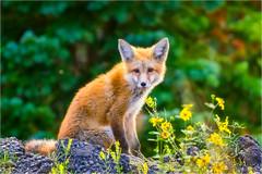 Day10-131a (Rattleep) Tags: animal colorado fuchs grandmesa stephandphotography2016 tiere usa wildlife fox