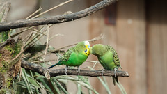 Love is in the air... (Janne Fairy) Tags: kiss green grün wellensittich parakeet budgerigar budgie vogel bird birds zoo tierpark