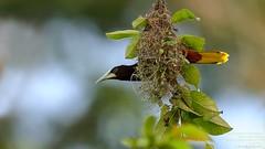 Chestnut-headed Oropendola (Psarocolius wagleri) Braulio Carrillo National Park, Costa Rica 2017 (Ricardo Bitran) Tags: psarocoliuswagleri chestnutheadedoropendola brauliocarrillonationalpark costarica birdsofcostarica
