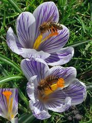 The Pollen and the Nectar. Honeybee, Apis mellifera, on Crocus vernus, Spring Crocus, Vondelpark, Amsterdam, The Netherlands (Rana Pipiens) Tags: crocusvernus springcrocus vondelparkamsterdamthenetherlands honeybee apismellifera stripedspringcrocus stamen style nectar pollen sun insect bee corbicula ruby10