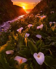 Calla Lilies at Sunset (Garrapata SP, CA) (Sveta Imnadze) Tags: nature landscape sunset flowers garrapatapark carmel ca