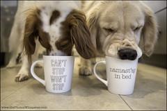 "11-52 ""if the mug fits..."" (Dave (www.thePhotonWhisperer.com)) Tags: 52weeksfordogs 52weeksforbruno namaste namastayinbed cantstopwontstop brittanyspaniel goldenretriever mug breakfast"