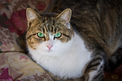 GREEN EYES (ilBovo) Tags: ilbovo danielebovo occhi eyes green verdi giada jade cat gatto