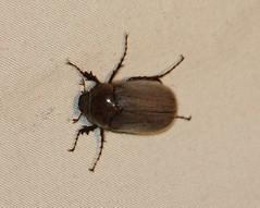 Melolonthini, May Beetle (tripp.davenport) Tags: uvaldecounty tx uvalde junebug beetle coleoptera maybeetle melolonthini