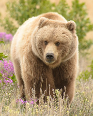 Yukon Grizzly (Wroot Down) Tags: life bear travel wild summer brown playing canada nature animal closeup youth forest fur mammal outdoors dangerous nikon child outdoor wildlife young yukon environment remote grizzly wilderness predator northern creature powerful brownbear grizzlybear locoweed ursidae d600 kluane