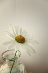 Daisy in glass bottle sepia toned (Willowreed2014) Tags: daisies