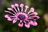 Osteospurnum in Pink (David S Wilson) Tags: uk flowers england flower ely fens 2014 flowersplants panasonicdmcgf1 davidswilson lightroom5 leicadgmacroelmarit12845asphlens