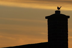 Silhouette of a bird singing at sunset (Andy Coe) Tags: roof sunset chimney sky cloud house black bird rooftop singing song sony pot alpha a77