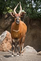 2014-05-07-13h19m02.BL7R7727 (A.J. Haverkamp) Tags: valencia zoo spain bongo spanje dierentuin bioparc canonef100400mmf4556lisusmlens httpwwwbioparcvalenciaes