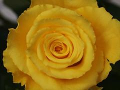 Rose (arjuna_zbycho) Tags: rose blume kwiat