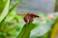 Dragonfly in Malaysia (Peppi100) Tags: nature animal fauna insect flora dragonfly natur 5d libelle insekt tier
