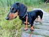 _140714_2626 (verbeek_dennis) Tags: dachshund tax kaapo dashond mäyräkoira такса gravhund jazvečík táksa