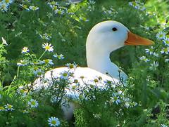 IMG_6293 white mallard in chamomille  flowerbed (pinktigger) Tags: italy white flower nature duck italia mallard friuli fagagna chamomille oasideiquadris feagne