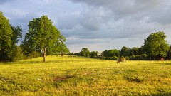 Julie Choate-Beautiful Evening on the Farm (Missouri Agriculture) Tags: cow pasture