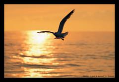 gull & sunset (xlod) Tags: sunset sea vacation holland bird nature netherlands animal meer sonnenuntergang sundown gull urlaub natur mwe texel tier vogel niederlande