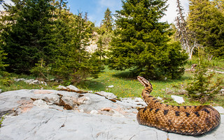 Vipera berus bosniensis and alpine habitat