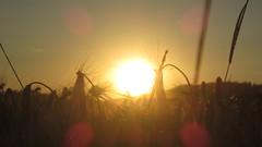 Sun beams (Scott lee hansen) Tags: sunset summer reflection beauty field barley breakfast gold freedom golden corn sweet wheat traditional country free sunny romance shade romantic corny cornflakes sunbeams