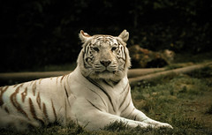 DSC_8998 (florent-photographie) Tags: zoo nikon tiger tigre flins tigreblanc d7100 nikond7100