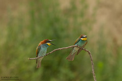 European Bee-eater (Merops apiaster) (_alcedo_) Tags: merops perch individual summer perched blue nature hunting bee bird bulgaria insect country june birds catching green lone branch one eating migrant insects behavior exotic color apiaster europe alone beak adult single food colorful behaviour beeeater colour beeeaters fields wildlife avian yellow colourful lane feeding prey european eater tree background birdwatchinglithuania