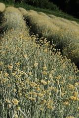 Campi di Elicrisio (Sale S.Giovanni  CN) (matteo gramaglia) Tags: paesaggi colline lavanda campidilavanda elicrisio altalangaprovinciadicuneo coltivazionibiodinamiche
