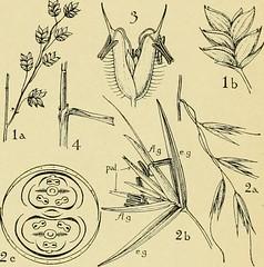 Anglų lietuvių žodynas. Žodis genus cenchrus reiškia genties cenchrus lietuviškai.