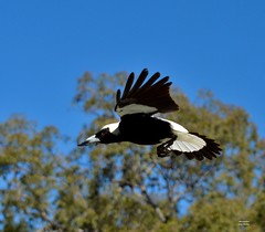 DSC_0009 (3) (RUMTIME) Tags: bird nature birds fly flying flight feathers feather queensland magpie coochie coochiemudlo