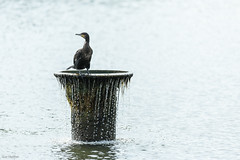 Raptor Like (Sue_Hutton) Tags: summer wildlife loughborough cormarant waterbody wateraerator nanpantanreservoir july2014