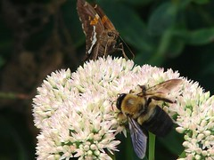 Butterfly and Bee (lisapeebles21) Tags: flower deleteme deleteme2 nature butterfly insect insects bee
