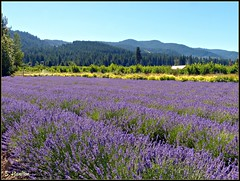 Lavender Farm (Suzanham) Tags: flowers oregon landscape farm lavender