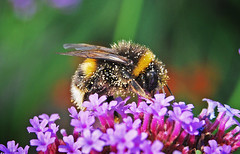 Bumblebee pollen fest, Moses Gate Country Park, Bolton (Pitheadgear) Tags: nature insect wildlife bees insects lancashire bee bumblebee bolton beekeeping apiary farnworth mosesgatecountrypark mosesgate