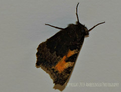 The new House guest - Butterfly sleeping on my ceiling (Amberinsea Photography) Tags: beautiful butterfly sleepy houseguest amberinseaphotography