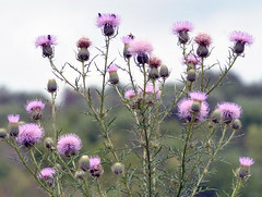 Thistles (carpingdiem) Tags: flowers summer indianapolis thistle