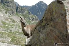 Cu cu...settete! (EmozionInUnClick - l'Avventuriero's photos) Tags: animale stambecco alpimarittime