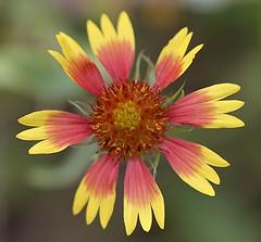 Colorful flower (billcoo) Tags: red plant macro yellow garden bokeh explore