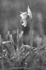 Three-cornered leek (Giovanni Caddeo) Tags: wildlife naturalmente defendersofwildlife aglioselvatico earthhour threecorneredleek nginationalgeographicbyitalianpeople totalphotoshop floraefaunadellasardegna nikond7000 nikonclubit allumtriquetrum meyergörlitztrioplan100f28