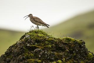 Curlew bird