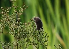 Lecker (   flickrsprotte  ) Tags: natur blume kiel maus botanischergarten zwergmaus rosengewchs flickrsprotte echtemadess