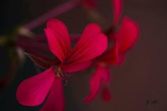 Rosso Geranio (Laralucy) Tags: red macro bokeh ngc natura fiore rosso nikon3100 geranio